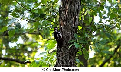 Great spotted woodpecker, perched on a tree trunk