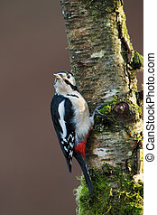 Great Spotted Woodpecker perching on a mossy tree trunk
