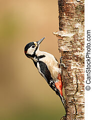 Great Spotted Woodpecker perching on a tree