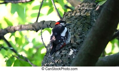 Great Spotted Woodpecker screams about the dangers of an...