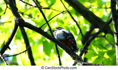 Great Spotted Woodpecker screams about the dangers of an approaching nest