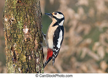Great spotted woodpecker searching for food