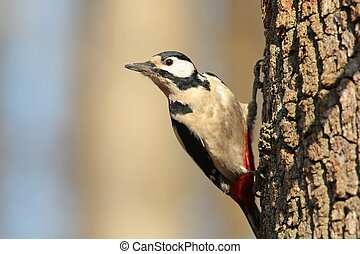 Great Spotted Woodpecker on a tree trunk.