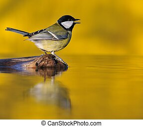 Great tit at sunset.