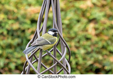 Great tit bird in yellow black color perching on metal...