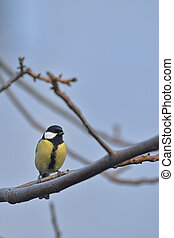 Great Tit Bird On A Branch