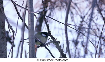 Great Tit Bird (Parus major) Sitting on Tree Branch in Winter Forest
