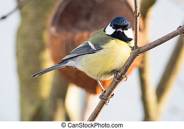 Great Tit bird sitting on the branch of a tree