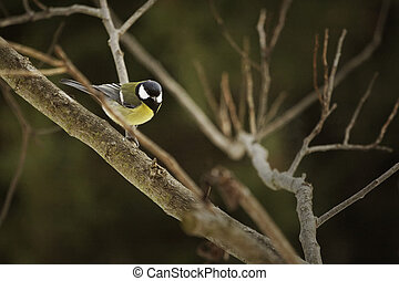 Great tit bird sitting on the tree