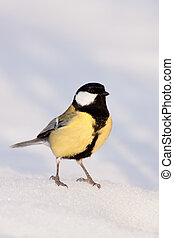 Great tit close-up in the snow