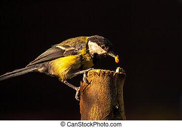 Great Tit feeding on log