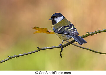 Great tit in autumn colors