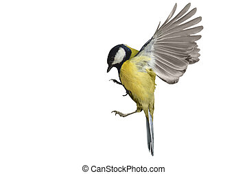 Great tit in flight isolated on white, bird in flight, yellow feathers