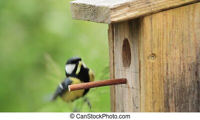 Great tit, in front of nest-hole, with caterpillar in beak...