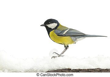 Great tit in snow.