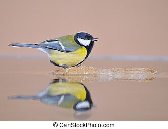 Great tit in the water.