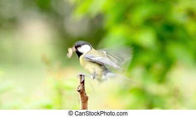 Great tit, on a branch with green caterpillar in beak 1080p...