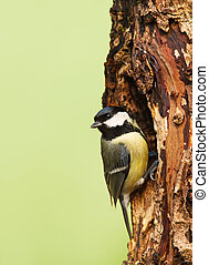 Great tit on a tree trunk