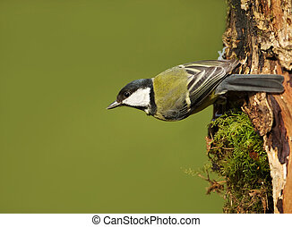 Great tit on a tree trunk, spring, UK.