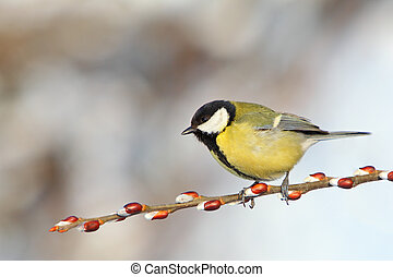 Great Tit on branch.