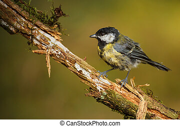 Great tit on rotten branch