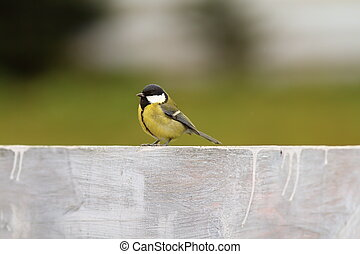great tit on the fence