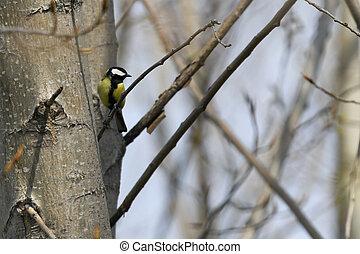 great tit on tree