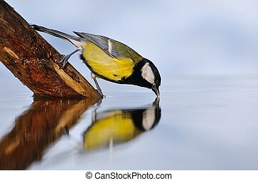 Great tit on water.