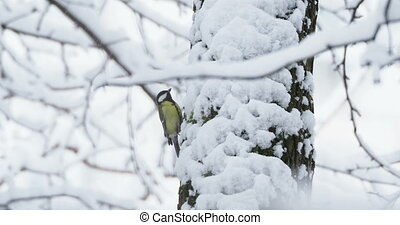 Great tit or Parus major jumping on tree bark in winter...