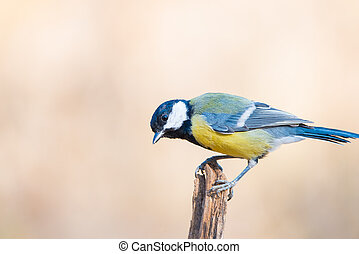 Great tit or parus major perched on a tree trunk in a field