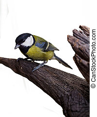 Great Tit Parus major on white background.