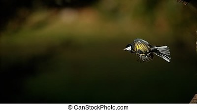 Great Tit, parus major, Adult in Flight, Normandy, Slow...