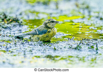 Great tit, Parus major, bathes in yellow green water in nature. A small passerine bird of the tit family, Paridae
