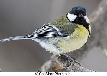Great Tit, Parus major in the natural environment in the winter. Novosibirsk region, Russia.