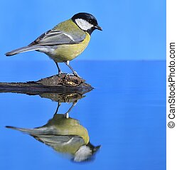 Parus major in the water.