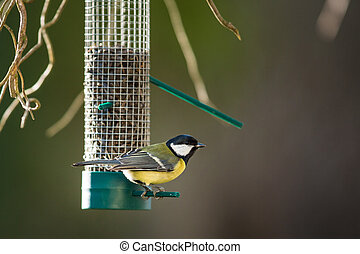 Great tit (Parus major) on a feeder in a garden