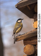 great tit (Parus major) on a wooden scaffold closeup