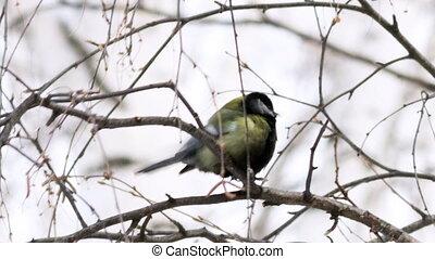 Great Tit (Parus major) on tree seed pecks