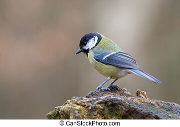 Great tit (Parus major) perched on a trunk