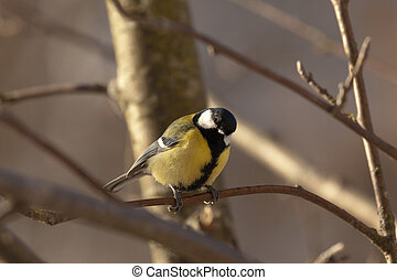 Great Tit - Parus major - The big titmouse sits on a tree...