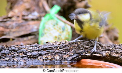 Great tit, Parus major, single bird drinking water