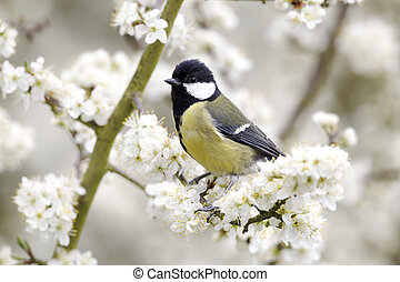 Great tit, Parus major, single bird on blossom, Warwickshire, April 2012