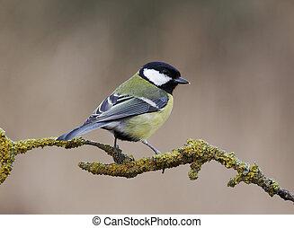 Great tit, Parus major, single bird on branch, Staffordshire...