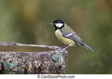 Great tit, Parus major, single bird on garden bird bath, ...