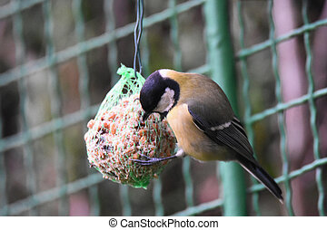 Great Tit (Parus major) sitting on a tallow ball