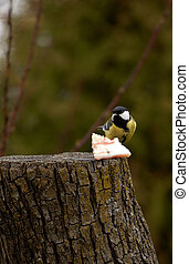 Great Tit - Parus major