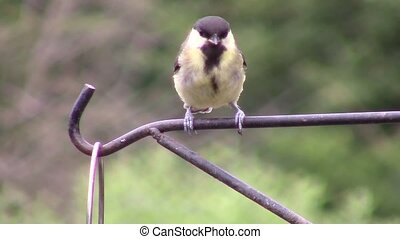 Great Tit perched and hopping on a metal rail then flying away.