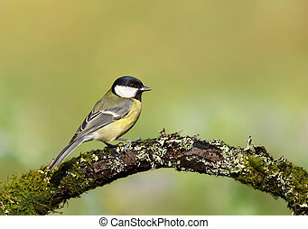 Great tit perching on a mossy tree branch