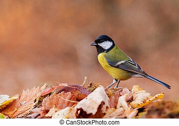 Great tit sits among fallen leaves in the evening forest