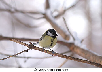 Great tit sits on a branch